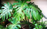 什么植物去吸收甲醛最好
